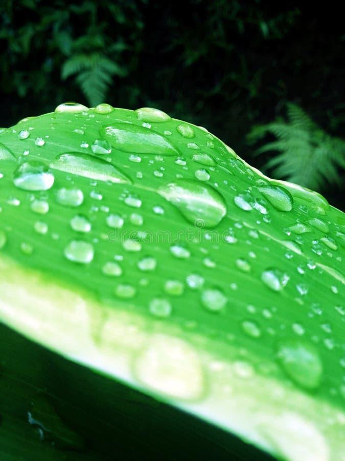 水多的绿色叶子 免版税库存照片
