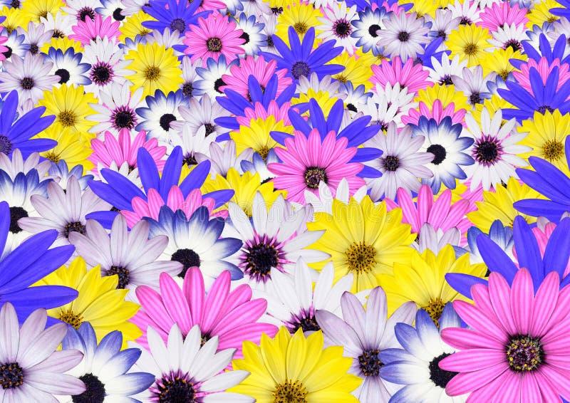 多种背景明亮的色的雏菊花 库存照片