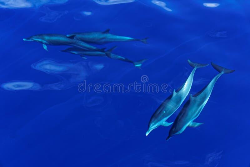 多米尼加的Carribian海岛的镶边海豚 免版税库存照片