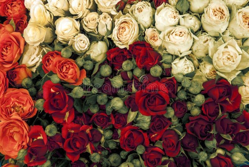 多色玫瑰花 免版税图库摄影