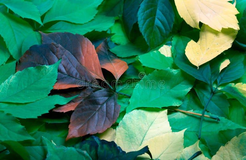 多色秋天弗吉尼亚爬行物叶子背景  图库摄影