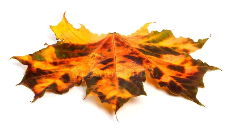 多色秋季枫叶 免版税库存照片