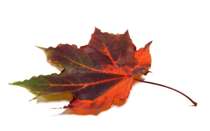 多色秋季槭树叶子 图库摄影