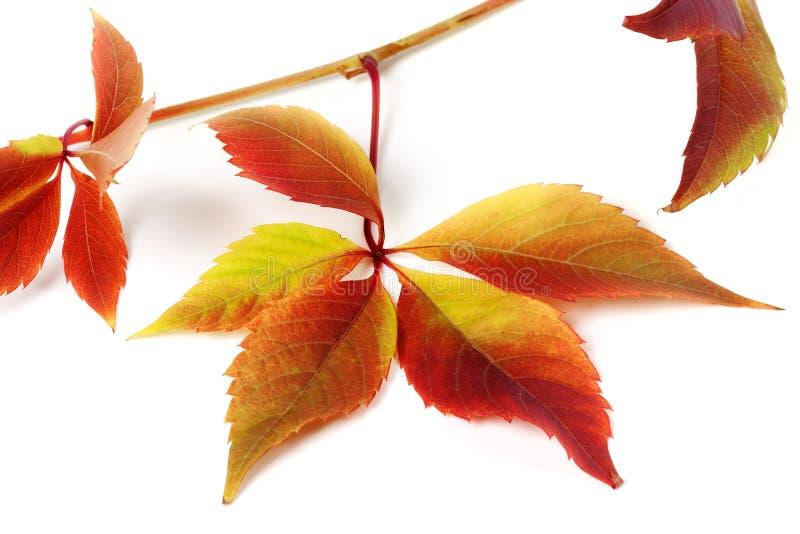 多色秋季葡萄叶子 免版税库存图片