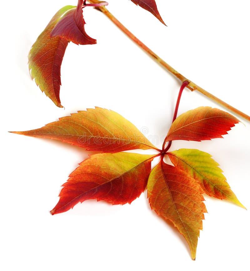 多色秋季葡萄叶子 图库摄影