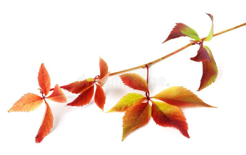 多色秋季葡萄叶子 免版税库存照片