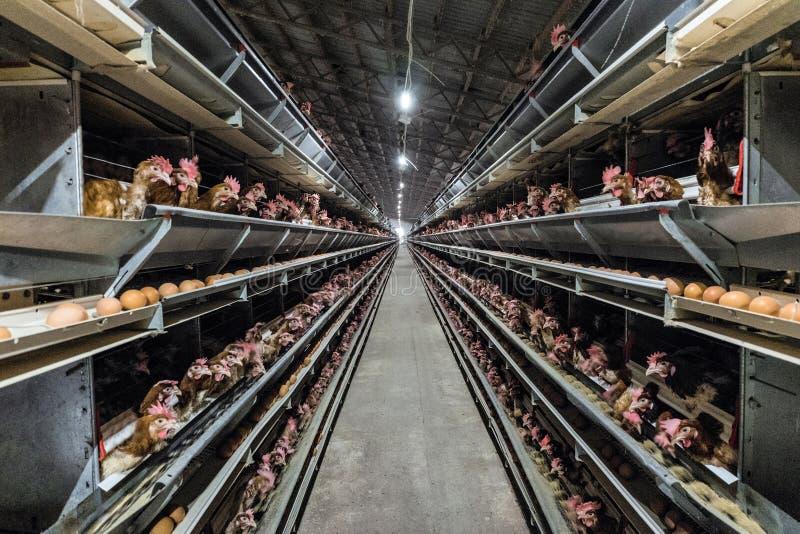 多重生产线家禽场的鸡鸡蛋的传动机生产线 库存照片
