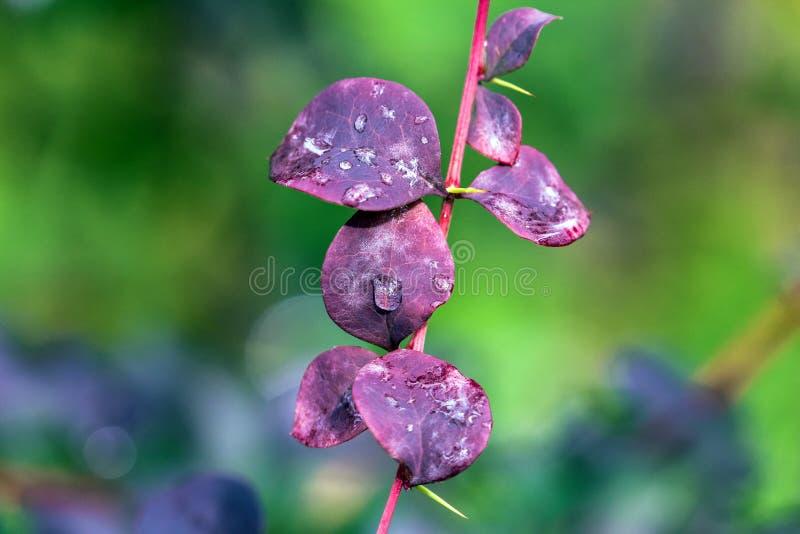 多雨红色在夏天离开与小发光的水滴 免版税图库摄影