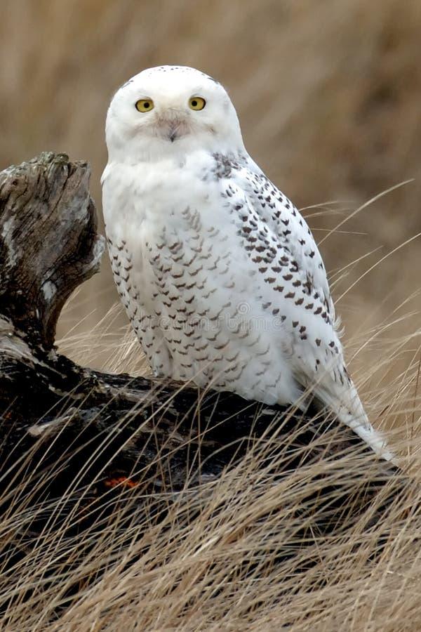多雪日志的猫头鹰 免版税库存图片