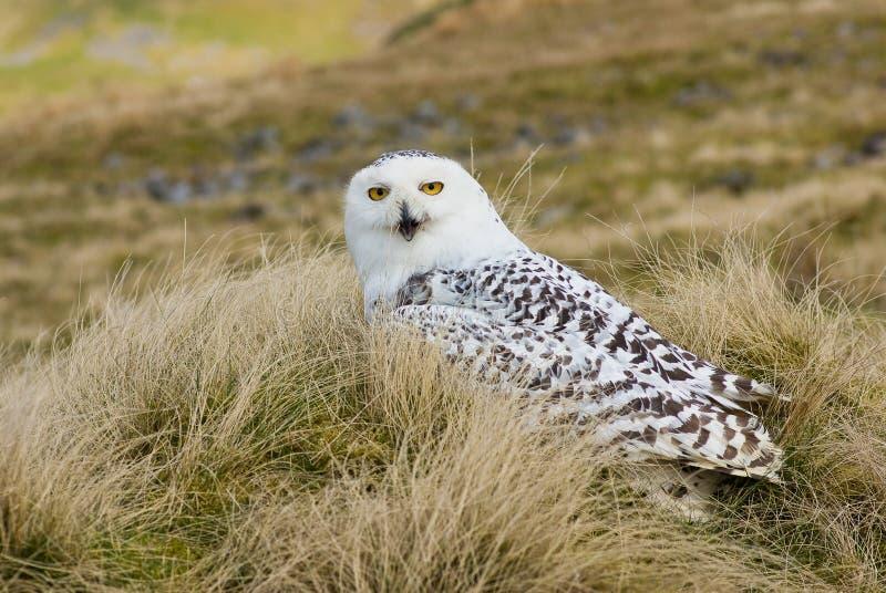 多雪横向的猫头鹰 库存图片