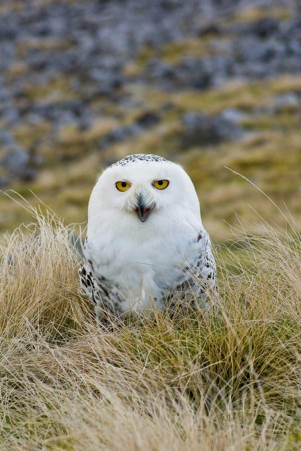 多雪猫头鹰的纵向 库存图片