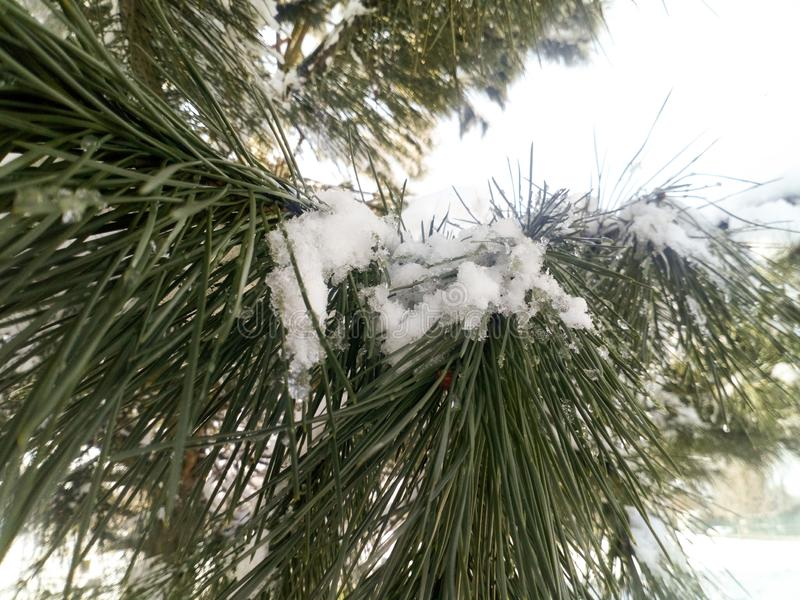 多雪的树,松树,冷杉,有雪花的植物特写镜头在阳光下的在它,冬天上 库存照片