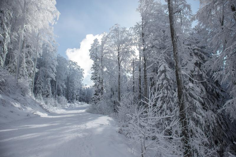 多雪的森林风景在好日子 免版税库存照片