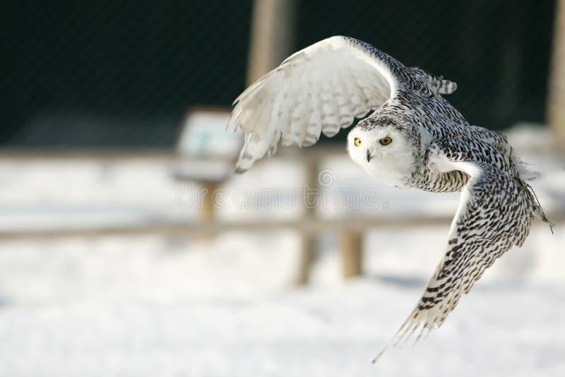 多雪的猫头鹰