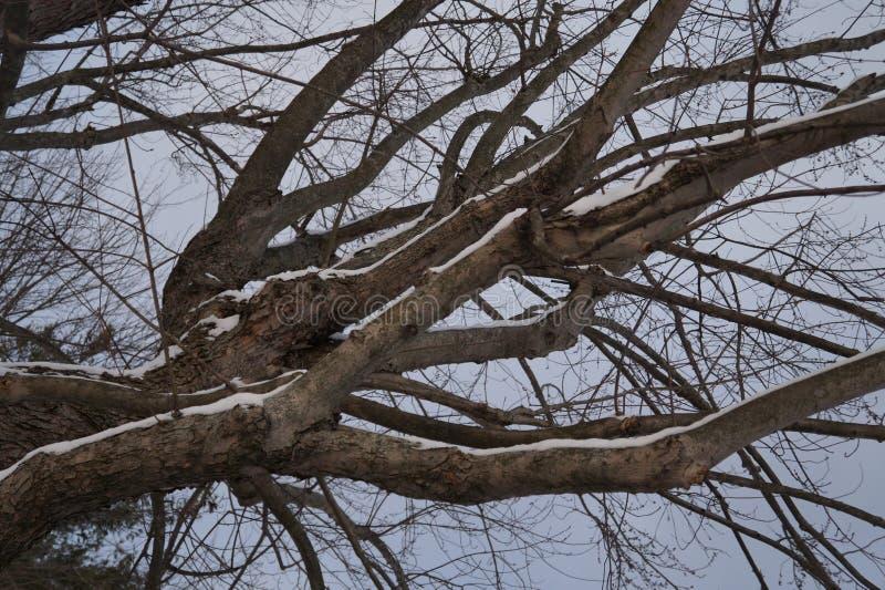 多雪的结构树 免版税库存图片