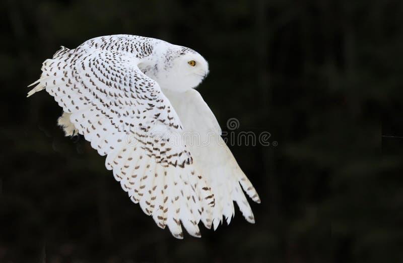 多雪飞行的猫头鹰 免版税库存图片