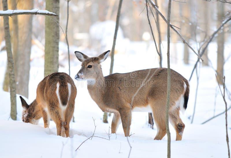 多雪deers的山 免版税库存照片