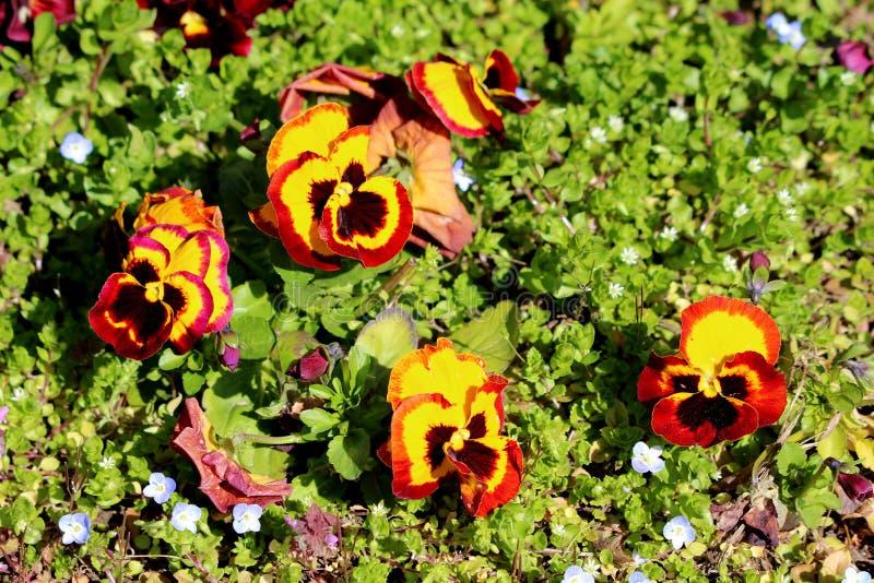 多颜色三色堇或中提琴三色小野花与橙黄和深红染黑在地方种植的瓣 库存图片
