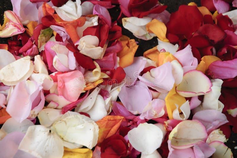 多颜色玫瑰花瓣背景 免版税库存照片
