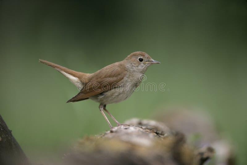 夜莺, Luscinia megarhynchos, 免版税库存照片