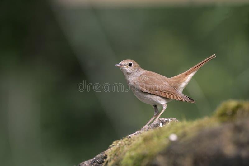 夜莺, Luscinia megarhynchos, 免版税图库摄影