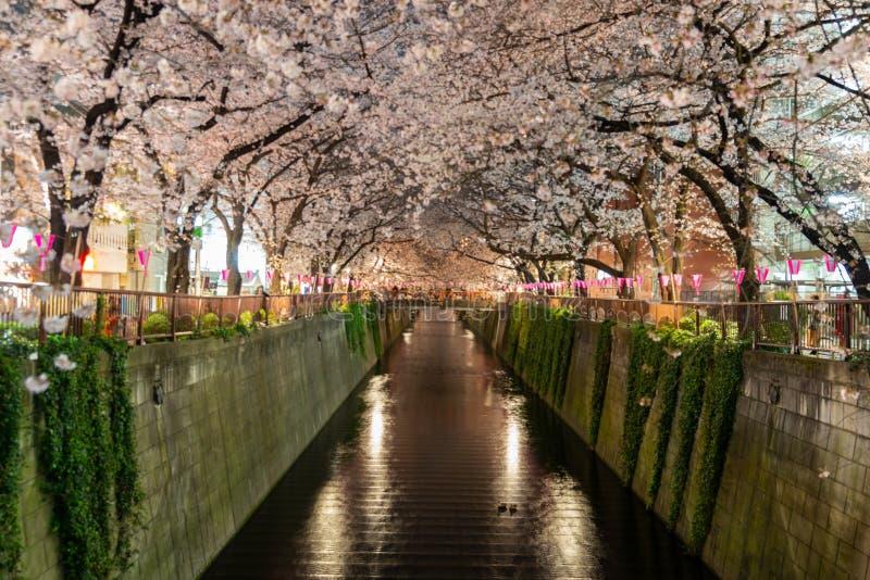 夜间东京梅黑河樱花 免版税库存图片