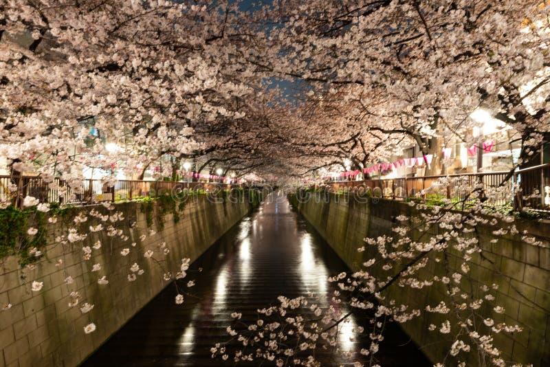 夜间东京梅黑河樱花 库存图片