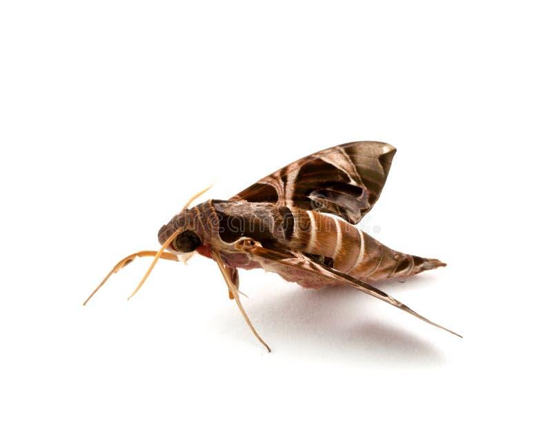 夜飞蛾在泰国 库存图片