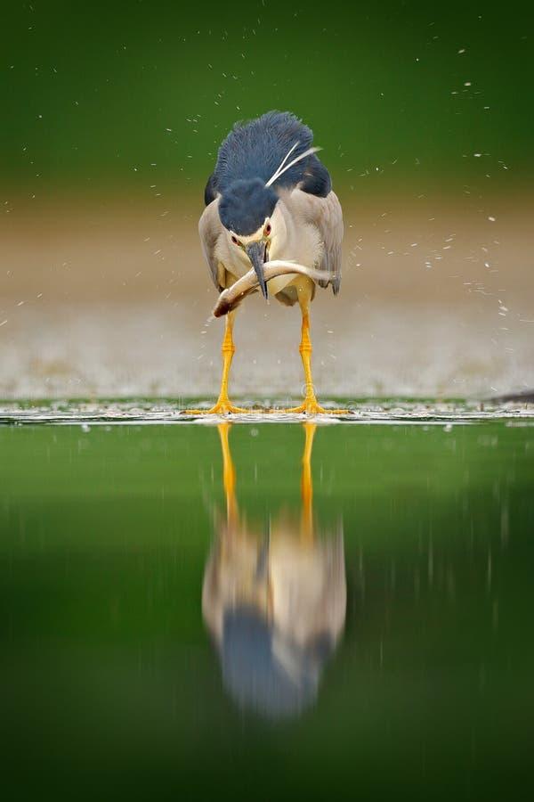 夜鹭属,与鱼在票据,动物在水中,从匈牙利,自然栖所的行动场面的灰色水禽 鸟behaviou 库存图片