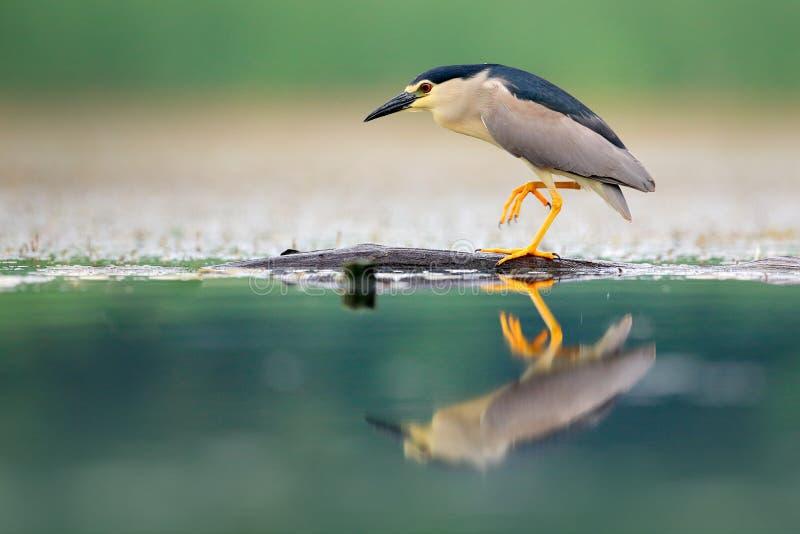 夜鹭属, Nycticorax nycticorax,灰色水禽坐在水中的,匈牙利 从自然的野生生物场面 鸟在水中 免版税库存照片