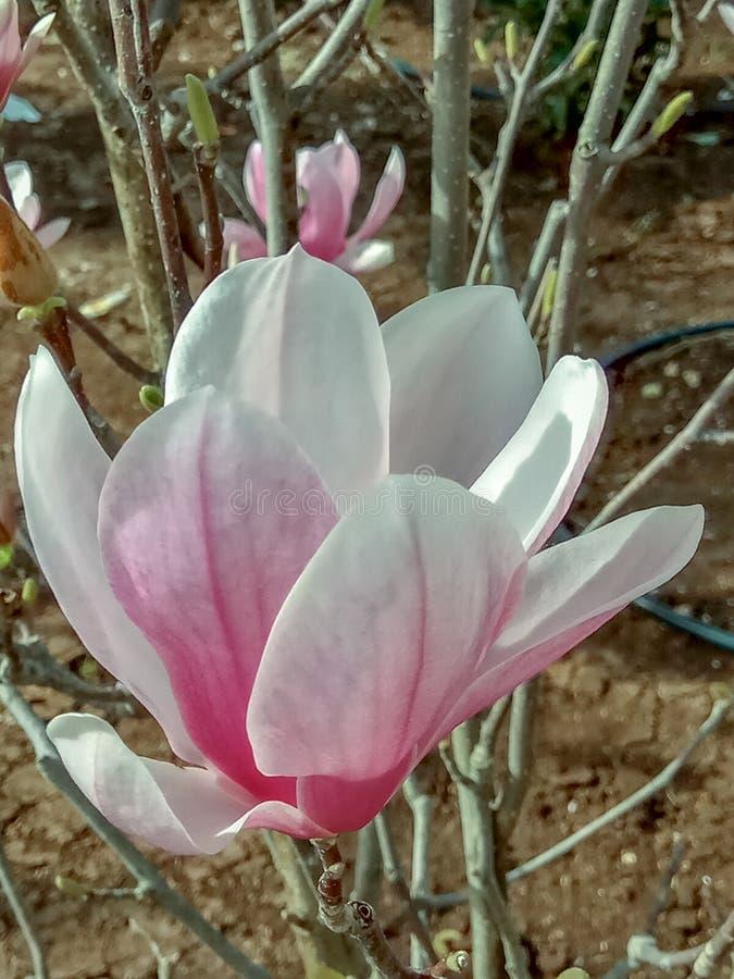 大一株紫色花木兰 设计的自然概念 免版税库存照片