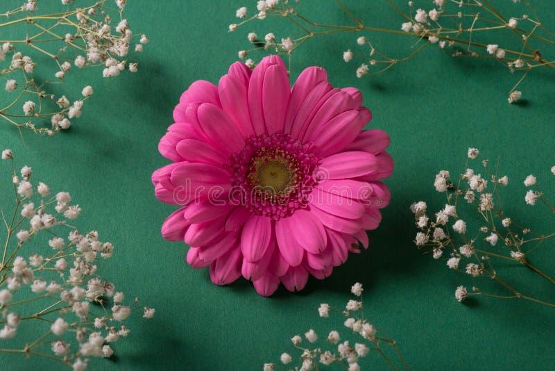 大丁草在绿色背景的桃红色花与白花 免版税库存图片