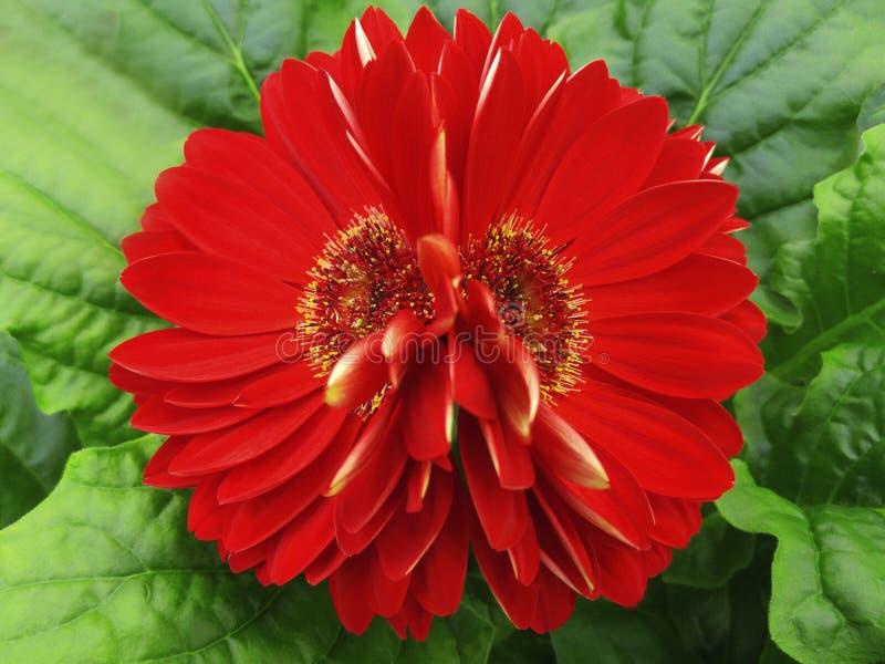 大丁草开花红色 特写镜头 美丽的两花 绿色背景 库存图片