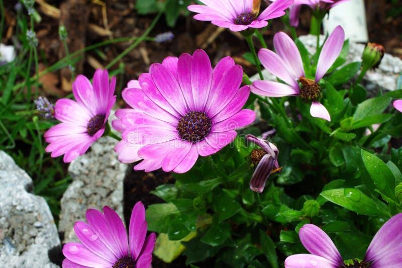 大丁草紫色桃红色白色 免版税库存照片