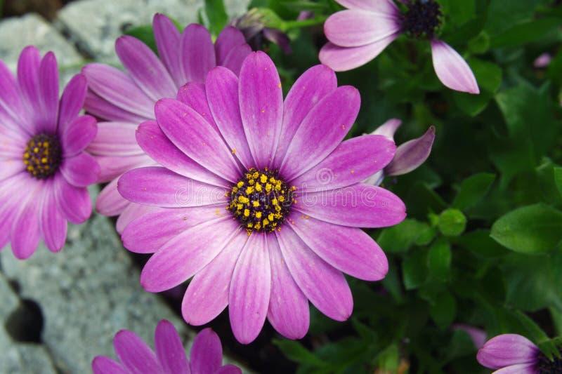 大丁草紫色白色桃红色 免版税库存图片