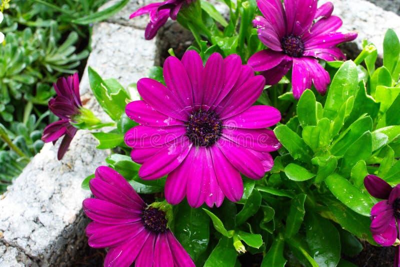 大丁草紫色红色 免版税库存照片