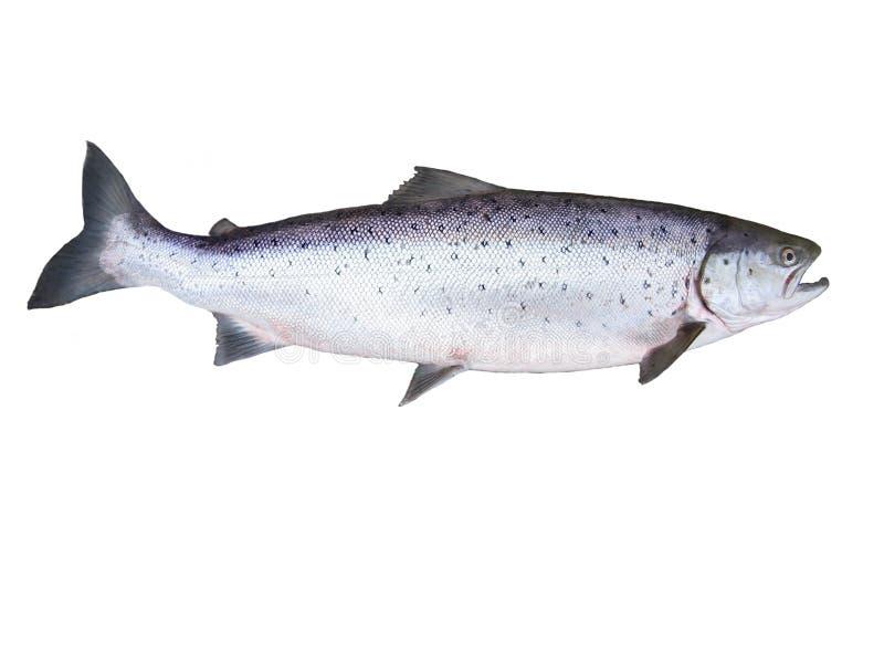 大三文鱼 免版税库存图片