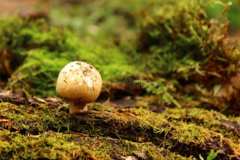 大下落绿色叶子宏观摄影水 capped mushroom 青苔 库存图片