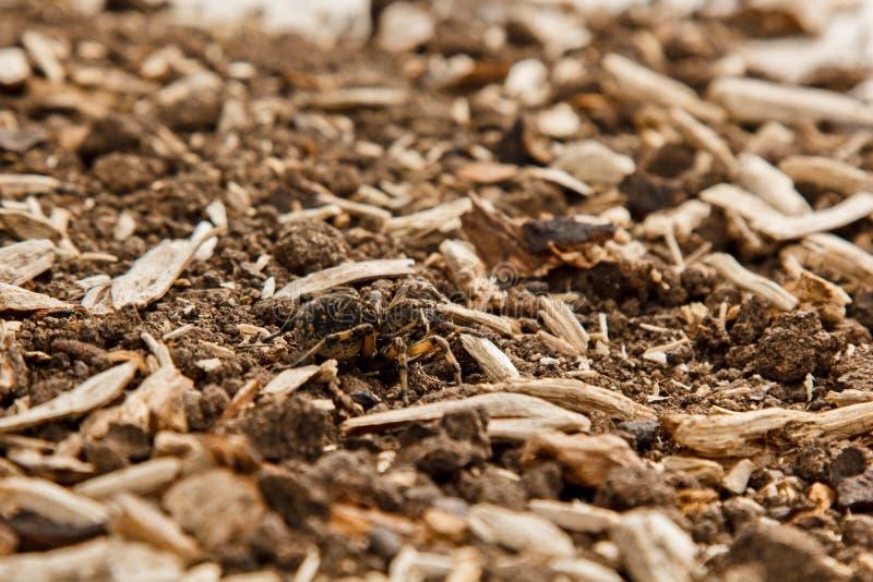 大丑恶的跳的蜘蛛塔兰图拉毒蛛坐地面 爬行紧密宏指令的成人长毛的狼蛛 图库摄影