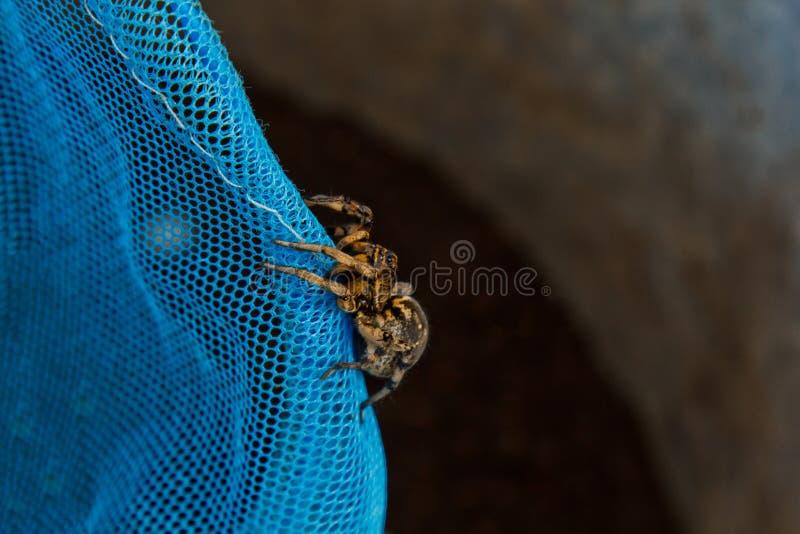 大丑恶的跳的蜘蛛塔兰图拉毒蛛坐网 爬行紧密宏指令的成人长毛的狼蛛 图库摄影