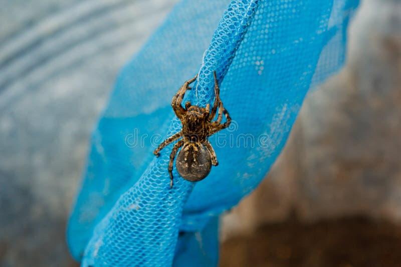 大丑恶的跳的蜘蛛塔兰图拉毒蛛坐网 爬行紧密宏指令的成人长毛的狼蛛 免版税库存照片