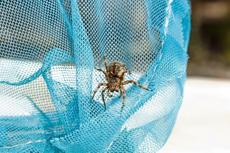 大丑恶的跳的蜘蛛塔兰图拉毒蛛坐网 爬行紧密宏指令的成人长毛的狼蛛 免版税库存图片
