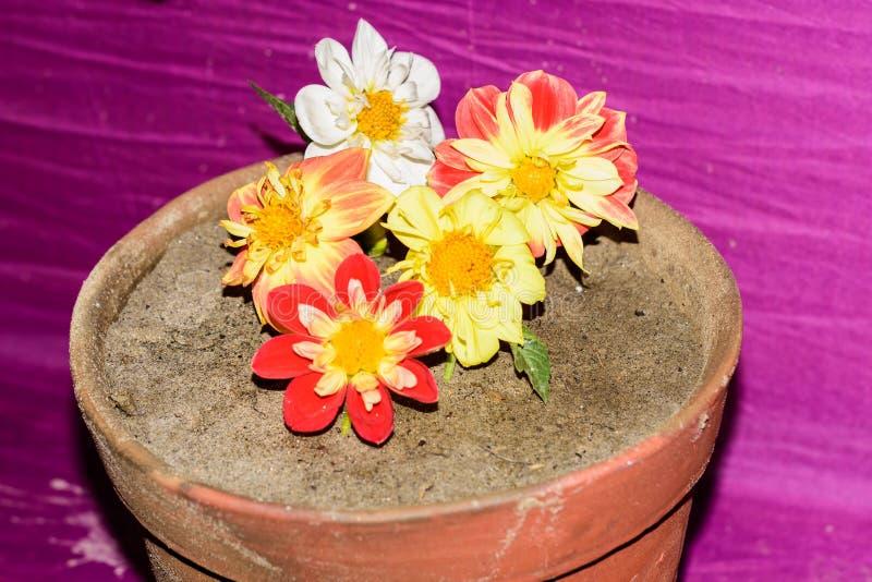 大丽花'Llandaff主教'墨西哥翠菊或庭院波斯菊和沙漠座莲Adenium在泥花桶 库存照片