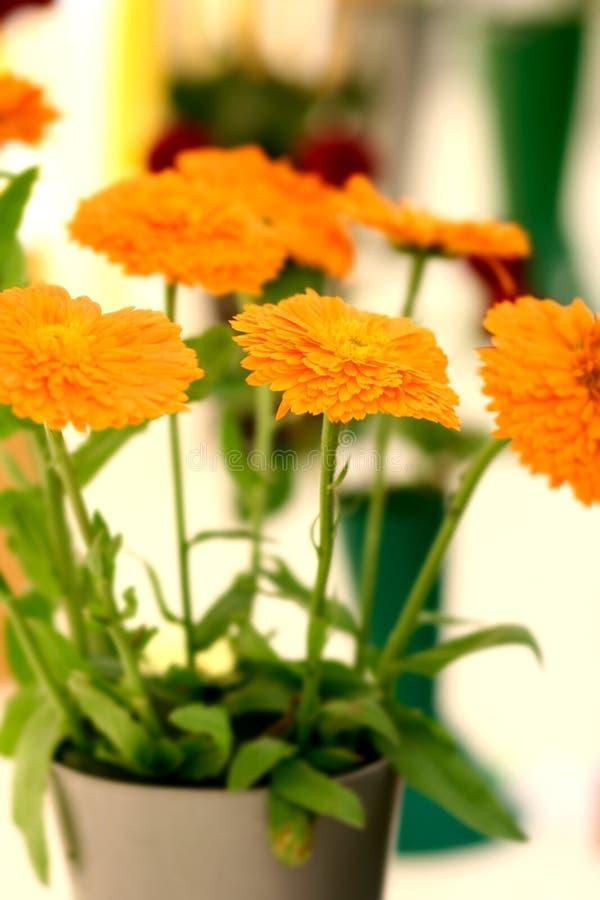 大丽花平展橙色俏丽 库存图片