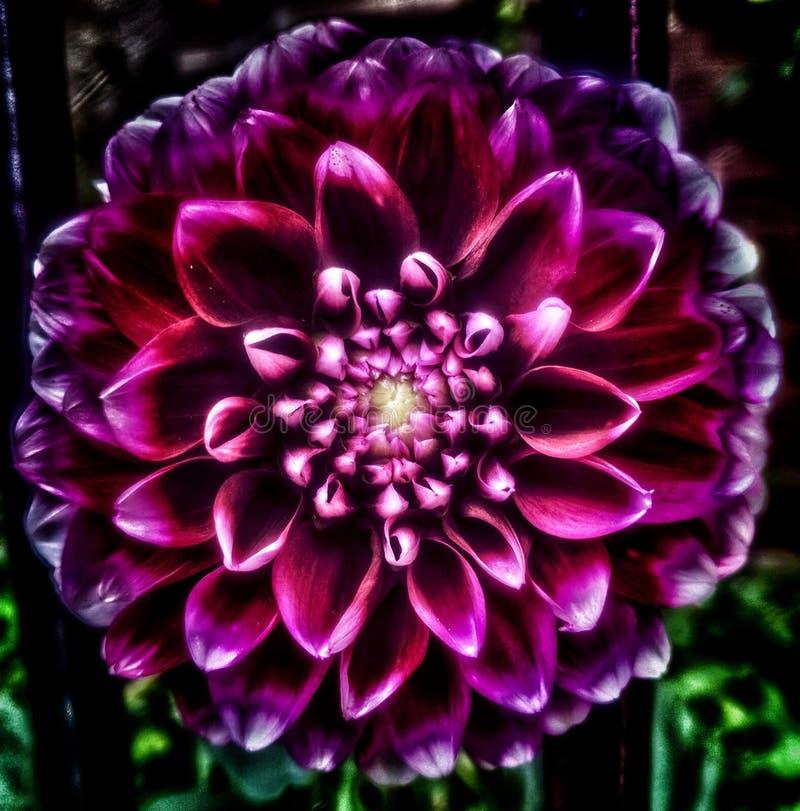 大丽花紫色 库存图片