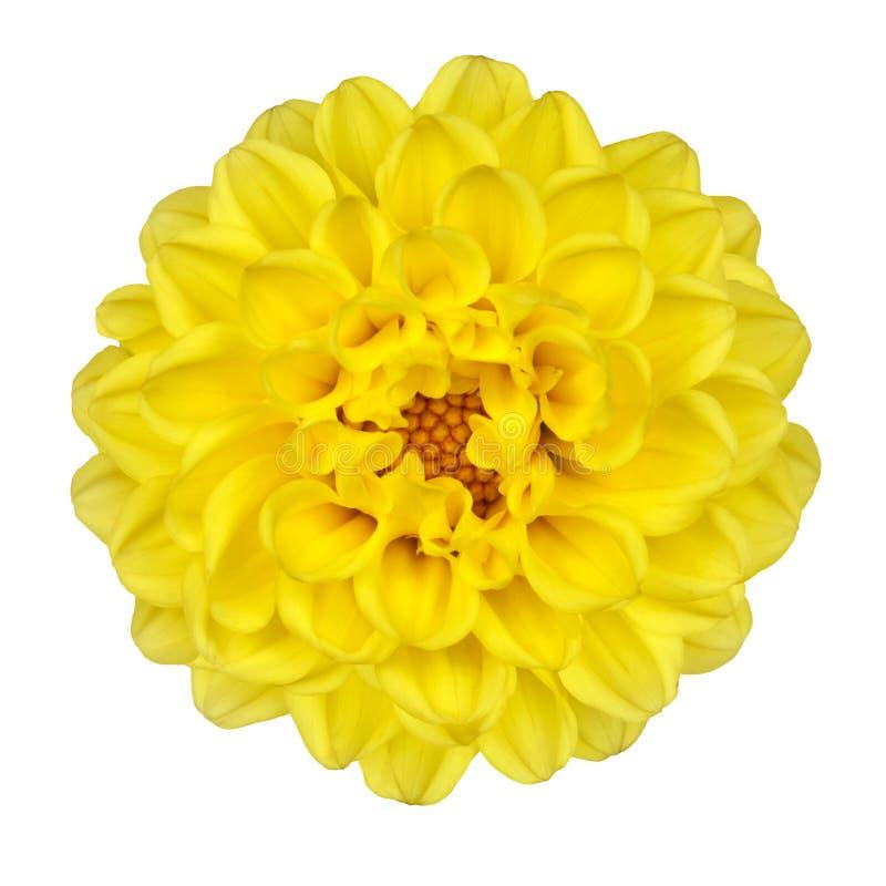 大丽花花查出的瓣空白黄色 免版税库存照片