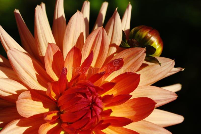 大丽花花,夏天场面,宏指令,美丽的植物群,瓣,桃红色和黄色花的关闭在绿草弄脏了背景 库存图片