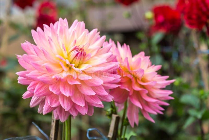 Download 大丽花花 库存图片. 图片 包括有 背包, 红色, 庭院, 本质, 大丽花, 植物群, 绿色, bossies - 59106633