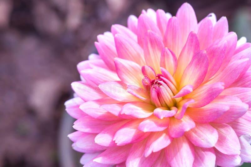 Download 大丽花花 库存照片. 图片 包括有 关闭, 开花, 植物群, 特写镜头, 紫色, 庭院, 自然, 粉红色 - 59106758
