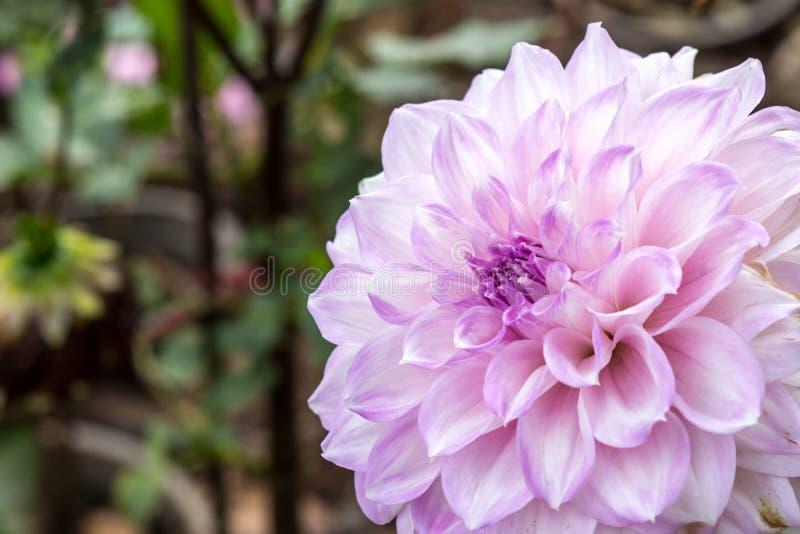 Download 大丽花花 库存图片. 图片 包括有 大丽花, beautifuler, 粉红色, 自然, 新鲜, bossies - 59107569